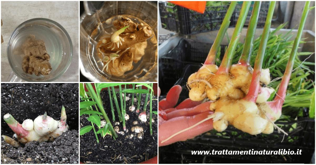 Come coltivare una scorta infinita di zenzero a casa