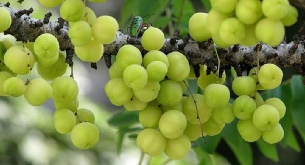 Blocca la crescita delle cellule tumorali: l'Amla è il frutto più antiossidante del mondo
