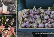 Come coltivare l'aglio in vaso per averlo a disposizione tutto l'anno