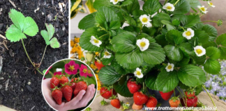 Come coltivare le fragole in casa per averne una scorta infinita