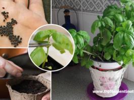 Come coltivare il basilico in vaso per averlo a disposizione tutto l'anno